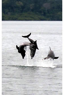 Dolphins jumping in Dolphin Bay, Bocas del Toro, Panama